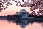 stock photo of memorial  - Jefferson Memorial at dawn by Tidal Basin and surrounded by pink Japanese Cherry blossoms with the monument lit by the rising sun at dawn - JPG