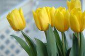 Flowers Tulips 1