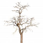 stock photo of dead plant  - Dead and Dry Tree Isolated in White Background - JPG