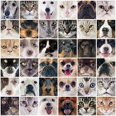 picture of australian shepherd  - group of purebred dogs and cats on a photography montage - JPG