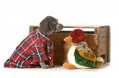 hunting dog - german shorthaired pointer wearing plaid shirt sitting beside stuffed duck isolated on