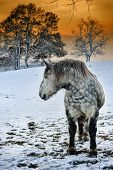 picture of dapple-grey  - Dapple grey horse at snowy winter sunset - JPG