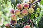 Peach Fruit On The Branch