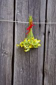 Common Cowslip( Primula Veris) Medical Flowers Bunch Hang  On Wooden Wall