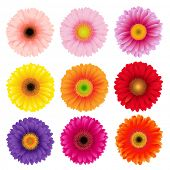 Big Colorful Gerbers Flowers Set, Vector Illustration