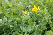 image of celandine  - a medical yellow celandine in the meadow