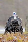 pic of turkey-cock  - The flight of turkey - JPG
