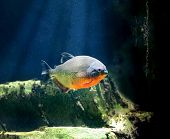 picture of piranha  - Piranha fish in clear water on dark - JPG
