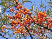 Ripe Sea-buckthorn Berries