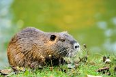 picture of muskrat  - The muskrat  - JPG