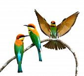 Set Of Orange-headed Bee-eater Birds Perching And About To Land On The Same Branch Isolated On White