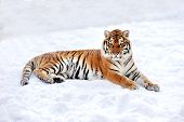 foto of tigress  - Siberian tiger in the wild on the snow - JPG