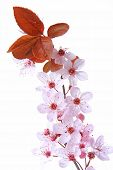 Purple-leaf Plum (Prunus cerasifera)