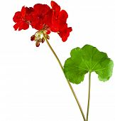 Geranium Pelargonium Flowers with copy space for text on white background