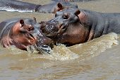 picture of hippopotamus  - Group of hippopotamus  - JPG