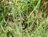 stock photo of venom  - Small venomous snake female Adder or Viper concealed in long grass - JPG