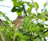 Nightingale Hidden