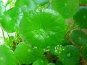Asian pennywort leaves
