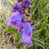 picture of xeriscape  - ladybug on purple penstemon flowers - JPG