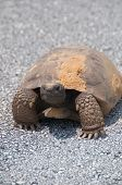 image of gopher  - This is a gopher  tortoise talking a stroll down the road - JPG