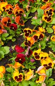 stock photo of viola  - viola tricolor pansy - JPG