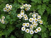 picture of feverfew  - White blossoms of Feverfew - JPG