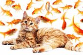 Cat  Looking Goldfishes
