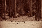 Bear in wild with cubs in Sequoia National Park in black and white