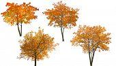 set of autumn trees isolated on white background