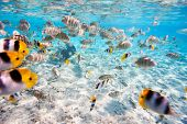 pic of butterfly fish  - School of butterfly fish in Pacific ocean - JPG