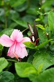 Pink Hibiscus Flowers And Butterflies In Nature.