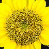 Yellow sunflower Close Up