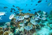 stock photo of sergeant major  - A small shoal of Sergeant major fish  - JPG