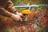 Man hands picking Mushroom orange cap boletus