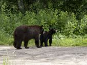 image of omnivore  - Black bear sow and cub head back into the woods
