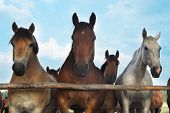 stock photo of troika  - Three horses and herd on a meadow - JPG