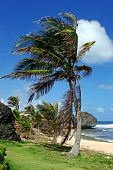 palm tree at Bathsheba, Barbados