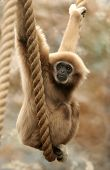Monkey Swinging