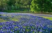 picture of morning  - Texas bluebonnet field along country road in early morning light - JPG