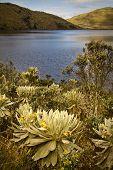stock photo of unique landscape  - Beautiful landscape of frailejones surrounding lagoon in El Angel - JPG