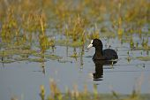 picture of wetland  - Common Coot diving in wetland waters of Bharatpur in India - JPG