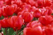 picture of glorious  - Glorious array of red tulips close - JPG