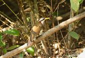 stock photo of babbler  - beatiful White-browed Scimitar-Babbler (Pomatorhinus schisticeps) in Thai forest