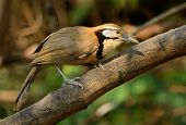 picture of greater  - beautiful Greater Necklaced laughingthrush  - JPG