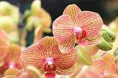 foto of yellow orchid  - Phalaenopsis - JPG