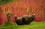 stock photo of sheep  - Sheep in a field next to quinoa plantations in Chimborazo - JPG