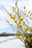 picture of molly  - Hazel shrub yellow flowers in snow landscape in winter season - JPG