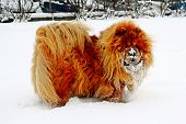 picture of seeing eye dog  - Chow Chow Dog Dina sun and white snow - JPG