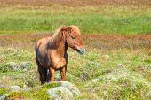 picture of iceland farm  - Reddish Icelandic horse with reddish mane on green background - JPG