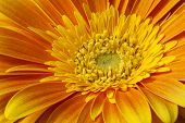 image of stamen  - Big orange gerbera flower closeup shot with stamens and petals - JPG